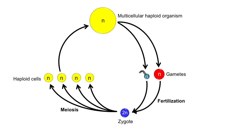 Origin Of Land Plants