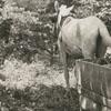 Horse pulling a tobacco sled.