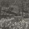 Runnymede iris garden, 1939.