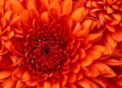 Chrysanthemum1507050338