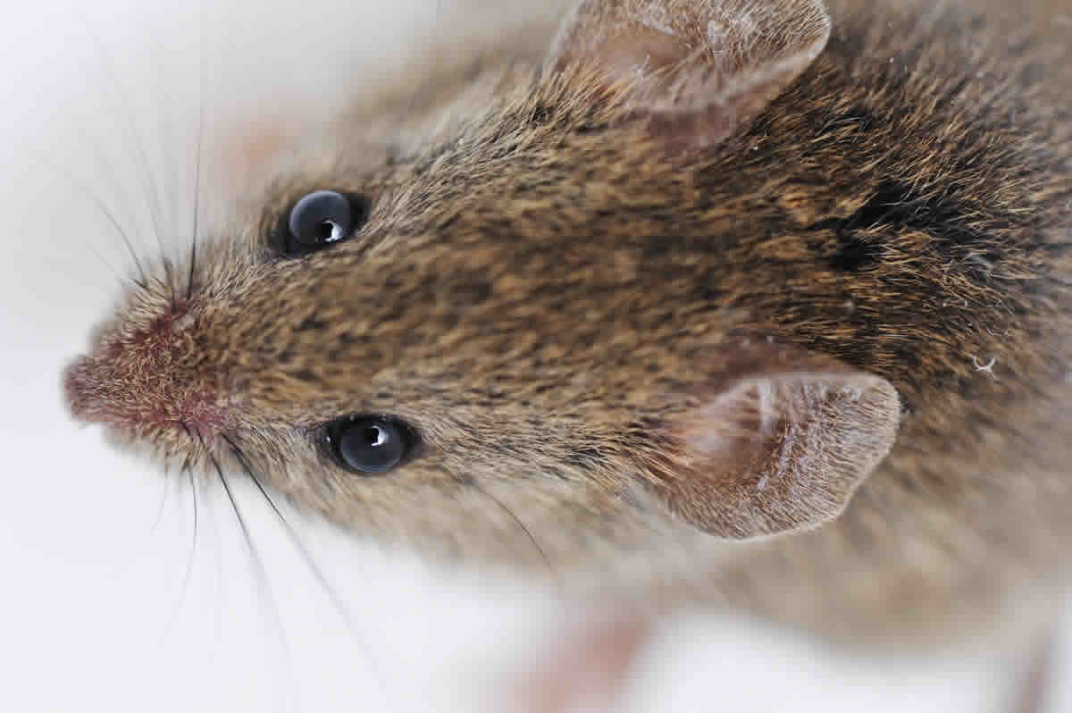 How to Get Rid of Rats Fast – Redneck Trick To Eliminating Rats