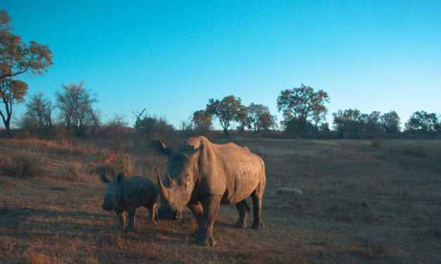 IBM and MTN Help Protect Endangered African Rhinos with Internet of Things Technology