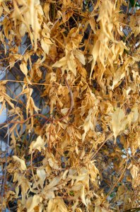 leaves_105_histo_web