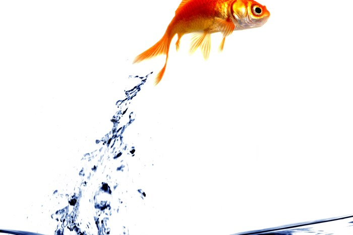 Goldfish jumping out of the water - goldfish jumping out of the water