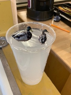 Ducks in cup