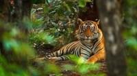 Harimau Sumatera Terlihat di Kawasan Gunung Sibayak, Masyarakat Diminta Waspada