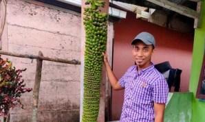 pisang 3 meter