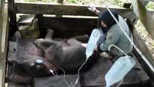 Gajah Sumatera Inong Mati Usai Terjebak Kubungan Lumpur