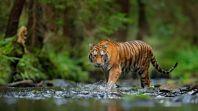 Tiga Harimau Sumatera Ditemukan Mati di Hutan Aceh Selatan