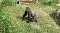 Sebanyak 13 Gorila di Kebun Binatang Atlanta Terpapar Covid-19