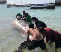Bangkai Paus Sperma Ditemukan Warga Terdampar di Perairan NTT