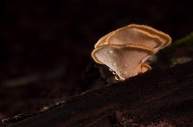 bf suma coffee - reishi mushroom