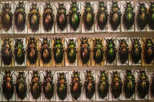 donation-coléoptères-Jardindessciences © Clement Bonvalot-6