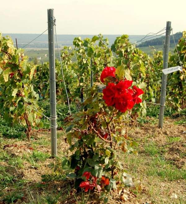 Rosier-vigne-choix-1