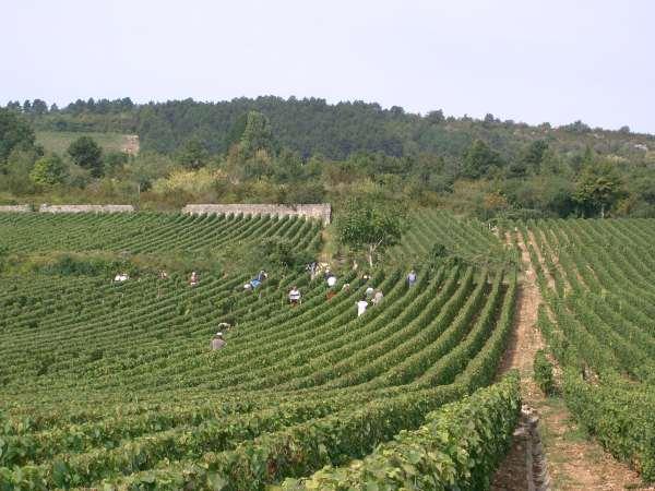 Vendanges_à_Meursault_(Bourgogne)