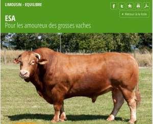 Elevage : le «Meetic» des bœufs