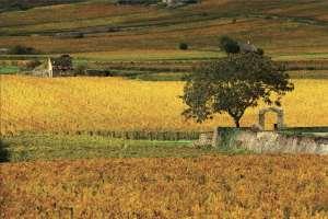 La Côte-d'Or des vignes: viti, veni, vici