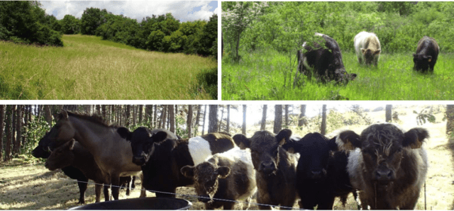 vaches galloway