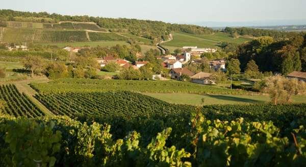 cadoles-chardonnay-vignes