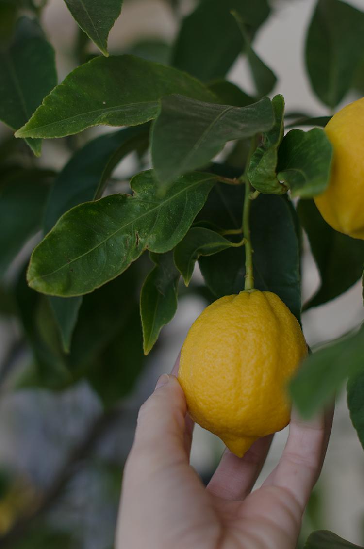 Limón recién recogido