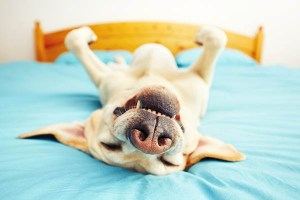 why we sleep. Dog is lying on the bed