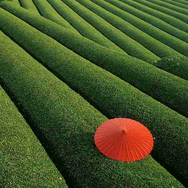 Fields of Tea, China