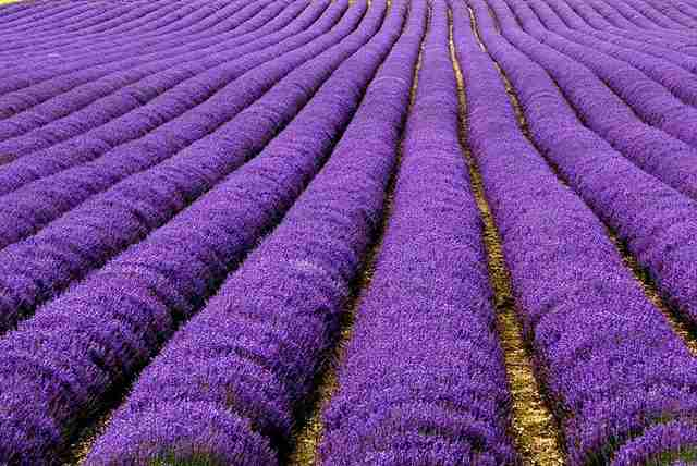 Lavender Fields, UK and France 2