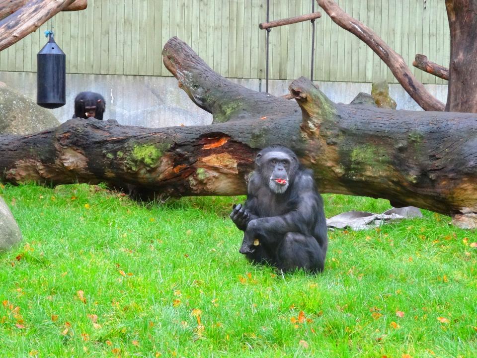 Chimpanse i Aalborg Zoo