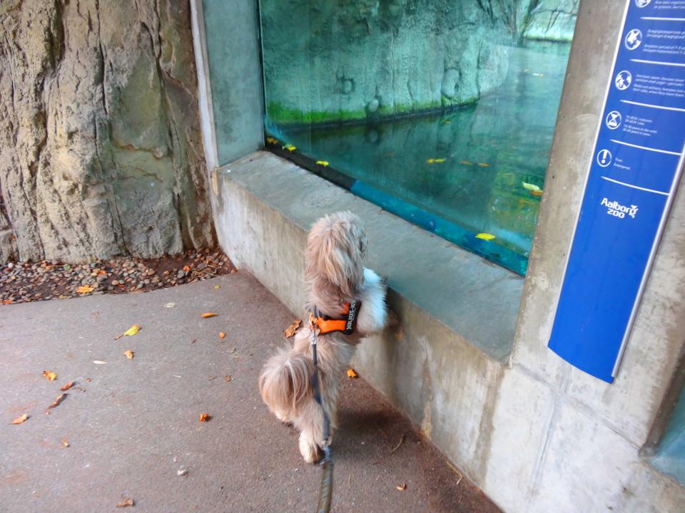 Shih Tzu i Zoo