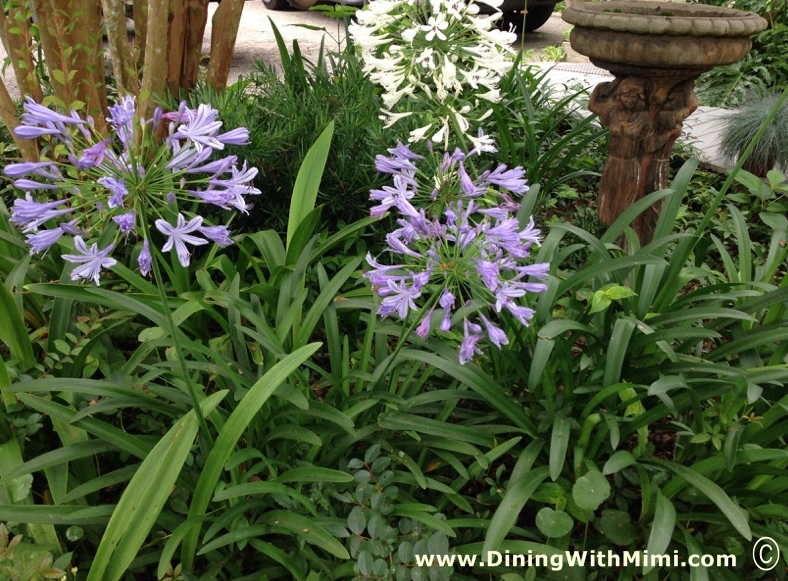 Agapanthus blooming in garden with Bird Bath www.diningwithmimi.com