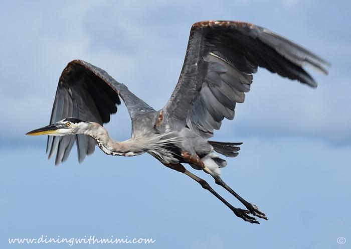 Gray Heron flying Unwind on Dauphin Island www.diningwithmimi.com