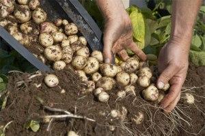 cartofi in containere - legume si ierburi care se regenereza - legume perene