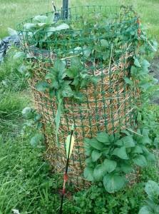 cartofi crescuti vertical - legume si ierburi care se regenereza - legume perene