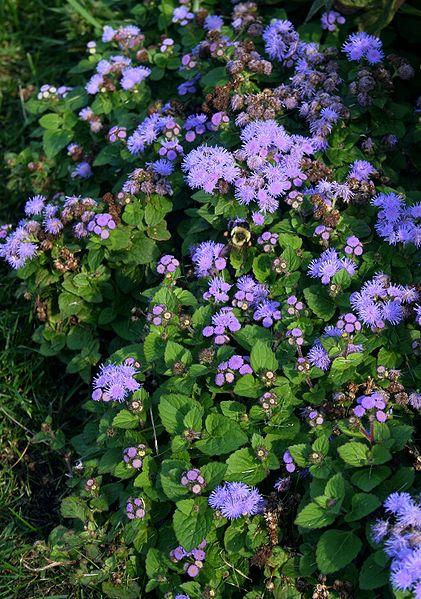 flori care alunga tantarii din gradina - Ageratum houstonianum