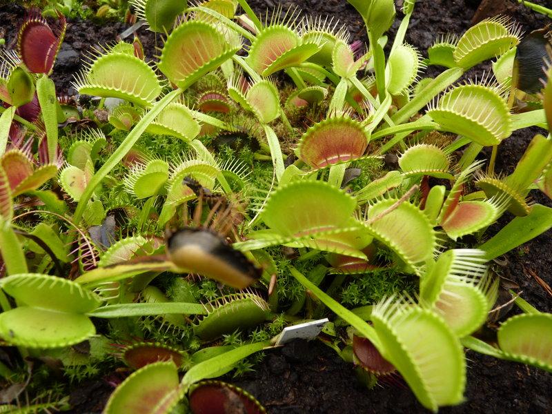 20 plante anti-tantari din gradina - Dionaea muscipula