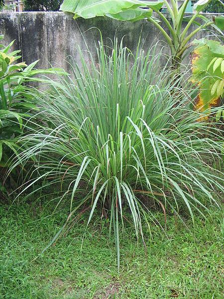 20 plante anti-tantari din gradina - Lemongrass
