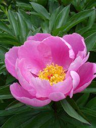 Paeonia lactiflora Sursa foto - commons.wikimedia