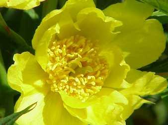 Paeonia lutea Sursa foto - commons.wikimedia