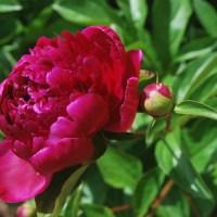 Bujorii, plante rustice nelipsite din gradinile romantice