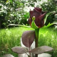 Cum sa pastram buchetele de trandafiri cat mai mult timp in vaza?