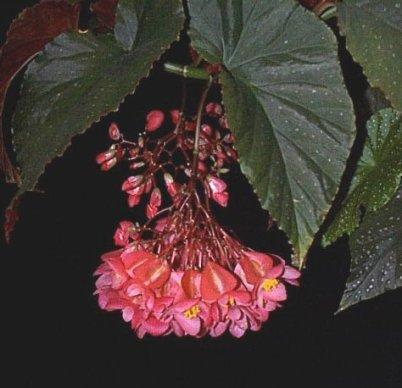 Begonia Carollina di Lucerna / http://www.plantoftheweek.org/week094.shtml