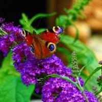 """Buddleja - """"liliacul de vară"""" sau """"arbustul fluturilor"""" - ajuns în Europa din Caraibe"""