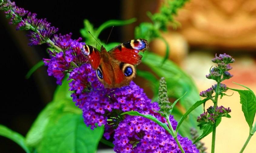 """Buddleja – """"liliacul de vară"""" sau """"arbustul fluturilor"""" – ajuns în Europa din Caraibe"""