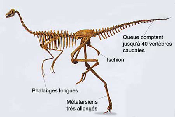 Ornithomimidé