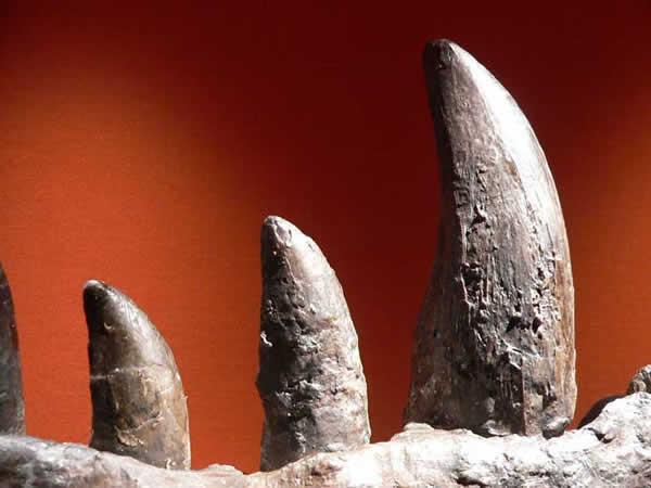 Dents fossilisées d'un Tyrannosaurus