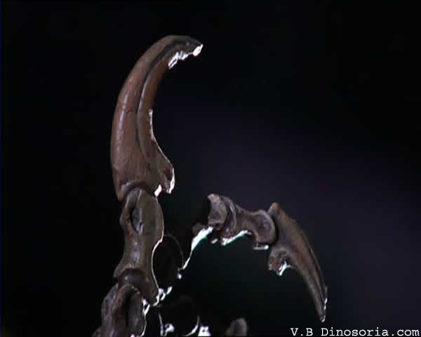 Griffes velociraptor