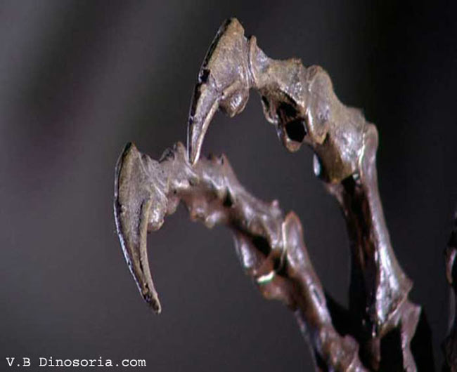 Griffes de Velociraptor