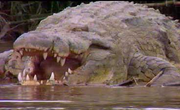 Gustave, le crocodile géant