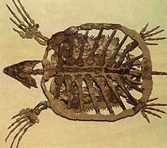 Fossile de Protostega gigas, une tortue marine