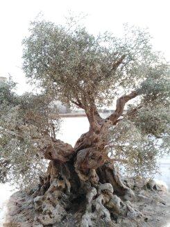 albero di ulivo per il presepe